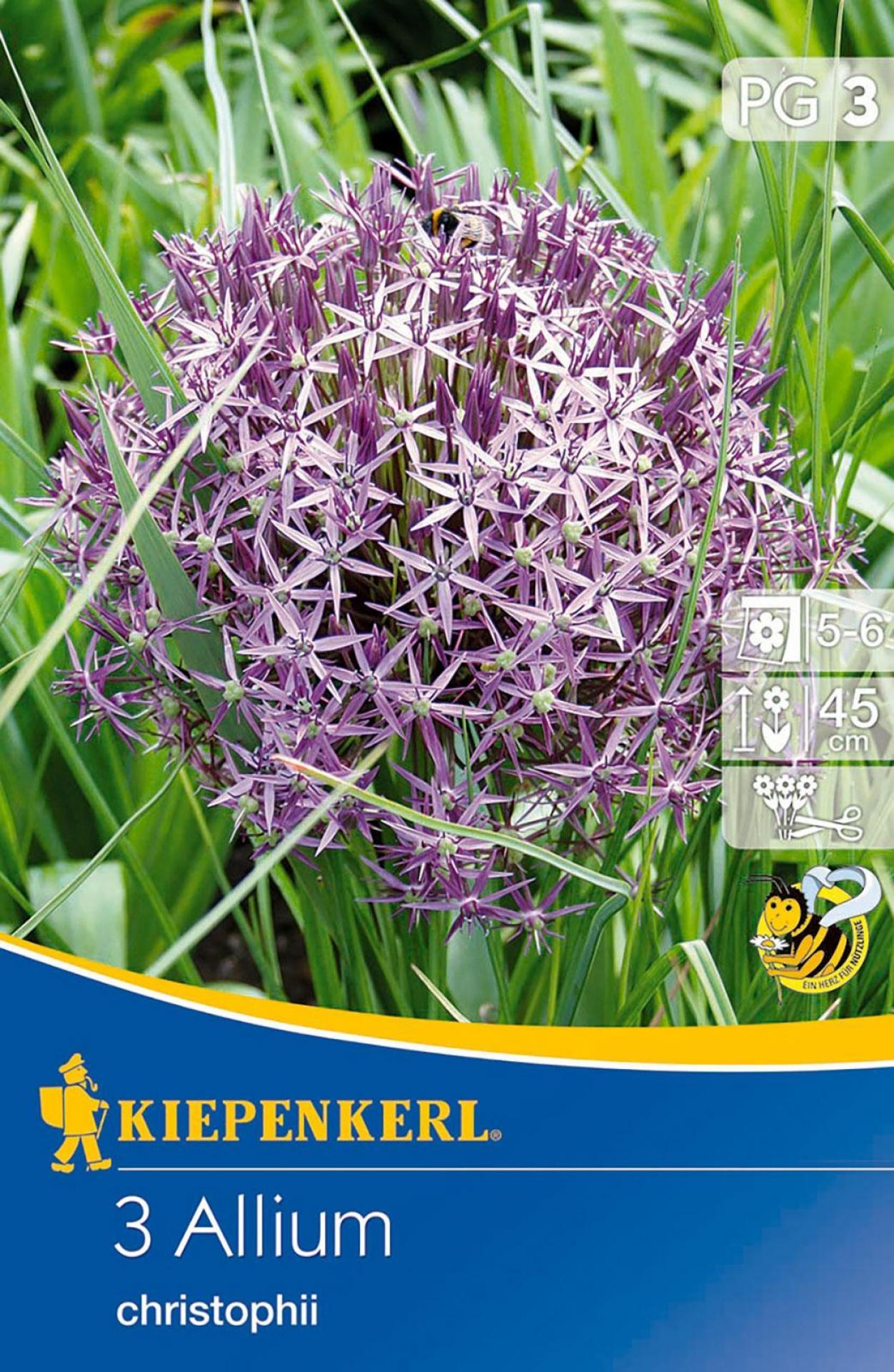 Allium christophii Blumenzwiebel